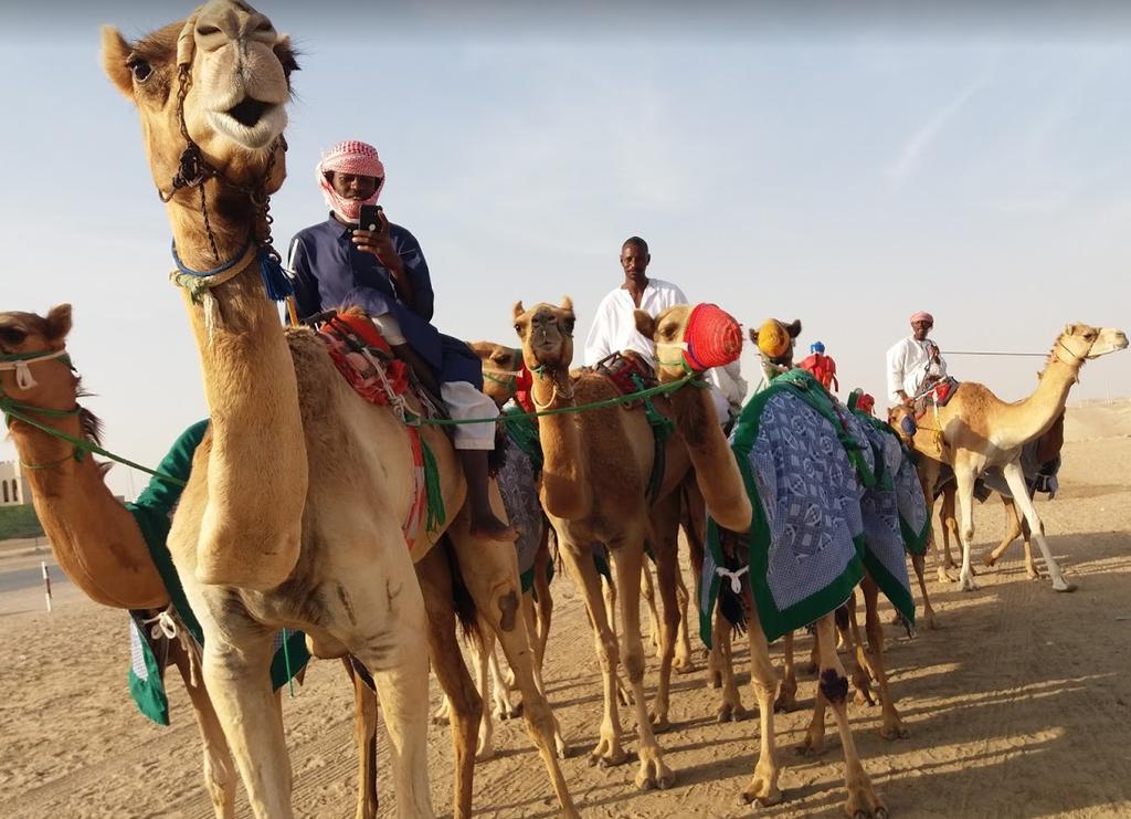 Carreras De Camellos Una Tradición Beduina En Emiratos árabes El